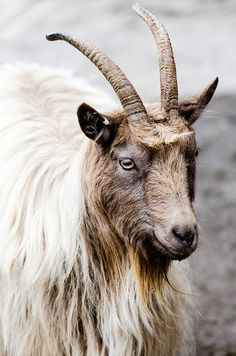 'A Goat' - photo by Jens Söderblom, via Flickr;  at Zoo Skansen in Stockholm, Sweden