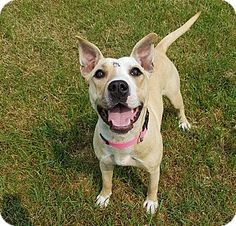 Penticton, BC - Pit Bull Terrier Mix. Meet Cher, a dog for adoption. http://www.adoptapet.com/pet/18708829-penticton-british-columbia-pit-bull-terrier-mix
