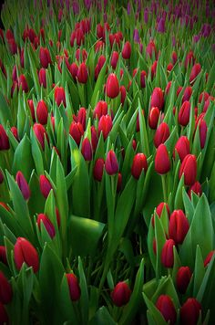 Red Tulips Field Print By Micael Carlsson