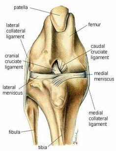 Knee Anatomy - front