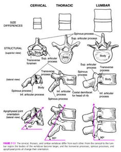 Chart On Endocrine System Hormones The Endocrine Glands In The Dog From The Cell To Hormone Radiology Schools, Radiology Student, Anatomy Bones, Gross Anatomy, Muscle Anatomy, Body Anatomy, Skull Anatomy, Medical Anatomy, Human Anatomy And Physiology