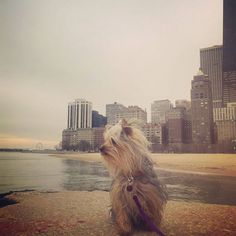 I'm giving you my good side bitches! Made it to Chicago! Let's go shopping! #doggiesofinstagram #doggies #dogsofinstagram #yorkies #yorkiesofinstagram #teacupyorkie #teacup #smalldog #smalldogs #tinydogs #tinydogsofinstagram #tinydogtuesday Image By: daphne_missbehavin http://bit.ly/teacupdogshq