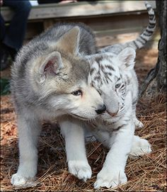 """""""Furry friends ... wolf and tiger cub. Someone please put this on the list for shapeshifter fiction!"""" (quote)"""