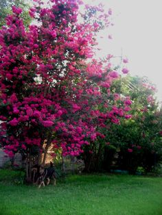 Crepe Myrtles Trees And Shrubs, Trees To Plant, Crepe Myrtle Trees, Florida Plants, All About Plants, Arbour Day, Shade Trees, My Secret Garden, Edible Garden