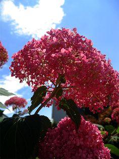 Hydrangea Spirit hanging in the sun