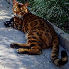 Fantastic Free Bengal Cats care Concepts Initial, when it comes to what is really a Bengal cat. Bengal kitties undoubtedly are a pedigree breed of dog . Pretty Cats, Beautiful Cats, Animals Beautiful, Cute Animals, Cute Kittens, Cats And Kittens, Cats Meowing, Bengal Kitten, Siamese Cat