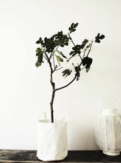 Nature brings life to a home.  I am lusting over this incredibly simple fig tree.