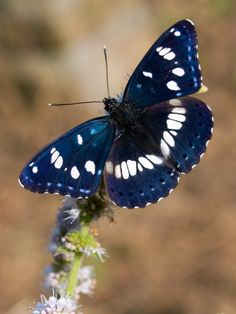 Southern White Admiral Butterfly ✿⊱╮. ...(source: @VoyageVisuelle )