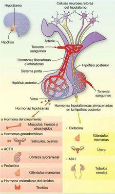 interrelaciones entre el hipotalamo y la hipofisis