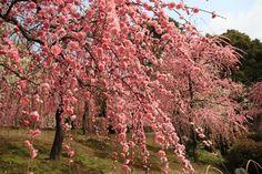 枝垂れ梅 - Weeping plum trees in Kyoto