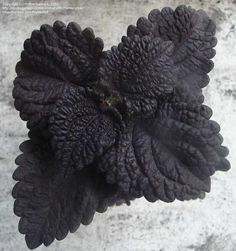 blackberry waffles coleus