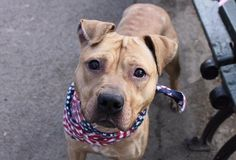 """PUGSLY - A1102691 - - Manhattan  TO BE DESTROYED 02/10/2017 *PUBLICLY ADOPTABLE*  A volunteer writes: Nothing creepy, mysterious, or spooky here. Our Pugsly is much more Brady Bunch than he is Addams Family. As soon as I spot him I'm immediately taken with those delicious, delectable ears. Like two sweet sparrows perched atop his head they wiggle with excitement at even the mention of a walk. """"Let's go!"""" And off we are with Pugsly pulling slightly on"""