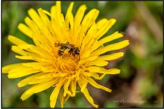 140501-Deutschland-Alzen-Monschau-121703 Biene auf Löwenzahn http://belichtungs-zeit.net/2014/05/05/kleiner-rundgang-narzissenweg/