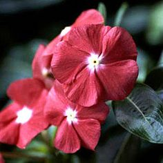 10 Plants That Beat the Summer Heat: Madagascar Periwinkle
