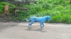 Real-Life Blue Dogs Spotted in India - http://www.odditycentral.com/animals/real-life-blue-dogs-spotted-in-india.html