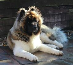 Gorgeous Long coated Akita