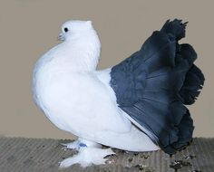 Encyclopedia of Bird Kingdom: Indian Fantail Pigeon with Origin Description Size Ornaments Color Comment caring pictures gallery and Video Cute Birds, Pretty Birds, Beautiful Birds, Pigeon Bird, Dove Pigeon, Pigeon Pictures, Bird Pictures, Exotic Birds, Colorful Birds