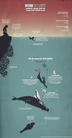 Born To Dive Infographic (inspired by James Nestor)  http://kaitlynkraybillvoth.com/portfolio/born-to-dive/