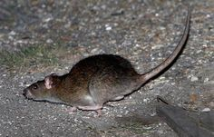 Rats to the Rescue? Army May Use Rodents As IED and Landmine Detectors!