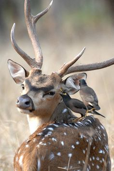 Axis Buck and Birds