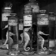 Seahorse specimens preserved in alcohol bottles.