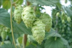How to Grow Your Own Hops for Beer and Other Uses