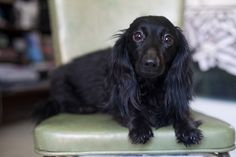 Looks just like our Long Haired Doxie. All black and everything.