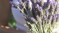 Growing Lavender in Northern Wisconsin | eHow