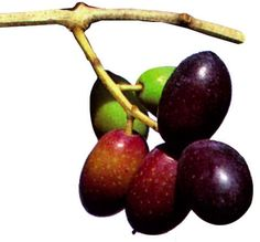 OLIO DI OLIVA EXTRAVERGINE TERRE D'OTRANTO DOP -  un colore verde o giallo con riflessi verdi, un odore fruttato medio con leggera sensazione di foglia ed un sapore fruttato con leggero accenno di piccante e di amaro. E` ottenuto da olive della varieta` Cellina di Nardo` ed Ogliarola, che devono essere presenti negli oliveti, da sole o congiuntamente, in misura non inferiore al 60%.