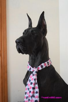 Black Great Dane, Amelia.  15 months old in picture.   Happy Valentine's Day