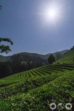 A Day Trip for the Boseong Green Tea Fields and Yulpo Beach - Bobo and ChiChi - Daehan Dawon Tea Plantation
