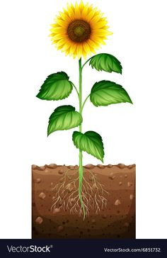 Sunflower with roots underground Royalty Free Vector Image Sunflower Tree, Sunflower Images, Plant Images, Tree Images, Grass Clipart, Abc Cards, Planting Sunflowers, Garden Mural, Plant Science