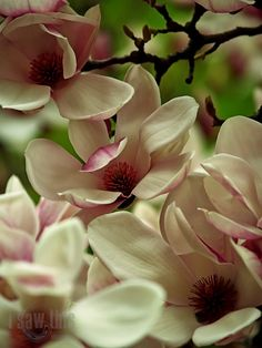 """""""The scent of magnolia, the face of a girl..."""" by Tatar Cristian on 500px #flower"""