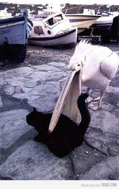 Pelican and Kitty, we're friends, right? Of course, it would be a black cat. Funny Birds, Funny Cats, Funny Animals, Cute Animals, Small Animals, Small Birds, Animals Images, Crazy Cat Lady, Crazy Cats