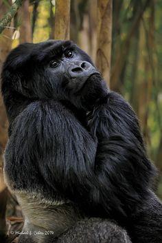 Mountain Gorilla - by MyKeyC Nature Animals, Baby Animals, Funny Animals, Cute Animals, Dian Fossey, Los Primates, Gorillas In The Mist, Silverback Gorilla, Gorilla Gorilla