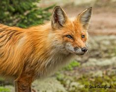 Father Fox by Steve Dunsford on 500px
