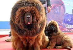 Un mastiff tibétain, une race rare de chien qui ressemble à un lion, a été vendu pour 1,4 million d'euros hier en Chine selon un journal local. Cela en ferait l'un des chiens les plus chers au monde.