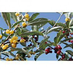 appelés MEHRBEERE® en Allemagne, ce sont des eleagnus multiflora produisant de délicieuses baies en octobre/novembre extra en confitures, gelées, pâtisseries et vins, une plante peu connue mais résistante jusque -20°C. FORTUNELLA® aux fruits jaunes, sucrés avec un bon équilibre d'acide et AMOROSO® le meilleur des rouges, les deux sans astringence, produit 3/4 kg de fruits par plant, 300/400 cm, supportent la taille.Quantité livrée : 1 pot de 5 litres avec 2 plantes