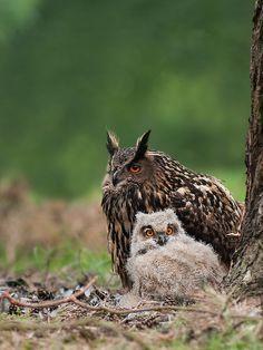 Eurasian Eagle Owls by rob_janne