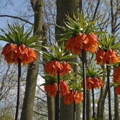 Hoch über allen anderen Zwiebelblumen trohnt die Fritillaria imperialis 'Rubra Maxima' und duftet dabei intensiv. Pflanzzeit ist im Herbst - online bestellbar bei www.fluwel.de