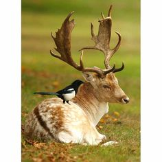 magpie perches on a stag