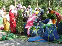 Tea picking women in their colorful Sarees
