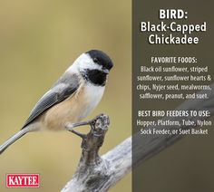 Your best bet for attracting chickadees is with these feeders and seeds. Best Bird Feeders, Wild Bird Feeders, Sunflower Hearts, Black Capped Chickadee, Chickadees, Black Oil, Backyard Birds, Wild Birds