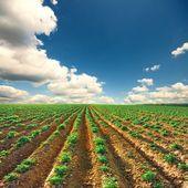 Bir gün batımı sahada patates - Stok İmaj #3445503