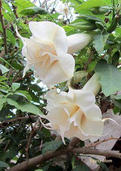 Angel Trumpets at the Mission Unusual Flowers, Love Flowers, White Flowers, Moon Garden, Dream Garden, Angel Trumpet Plant, Poisonous Plants, Unique Plants, White Gardens