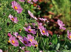 Les plantes pour un jardin favorable aux abeilles : le cosmos