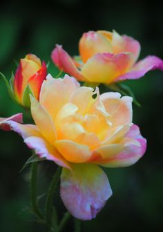 Joseph's Coat Climbing  Rose - these are gorgeous! Many color changes  from bud to blossom - absolutely stunning.