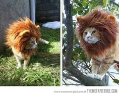 It's so cute!!!!!!  #cat #lion