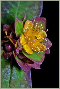 A Close-up View of Purple St. John's Wort ~ By Brian Johnston.. I'm happy already just looking at it.. It does work! :)