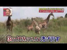 일본예능-  기린으로 분장하기